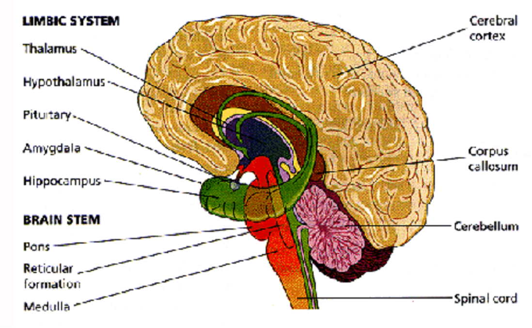 Central Auditory System – AMPLab